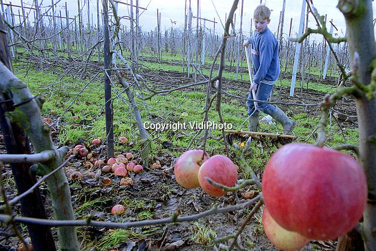 Foto: VidiPhoto..DODEWAARD - De fruittelers S. en Tj. de Vree uit Dodewaard hebben op hun 23 hectare grote bedrijf vakantiehulp. Terwijl de beide broers de appel- en perenbomen snoeien, harken de jongens het snoeihout bij elkaar. Het kost ongeveer 40 uur om 1 hectare bomen pneumatisch te kortwieken. Van de 23 hectare fruit op het Dodewaardse bedrijf bestaat 18 hectare uit appels: jonagold en elstar. Ieder jaar wordt een deel van de appelbomen ingeruild voor peren (conference).