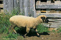 SH01-028z  Sheep - in barnyard