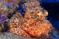 Titan Scorpionfish, Scorpaenopsis cacopsis, Midway atoll, Papahanaumokuakea Marine National Monument, Northwestern Hawaiian Islands, Hawaii, USA, Pacific Ocean