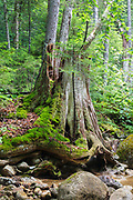 Decaying eastern white pine tree stump along the Pine Brook drainage in Lincoln, New Hampshire USA. This area was logged during the East Branch & Lincoln era, which was an logging railroad in operation from 1893 - 1948