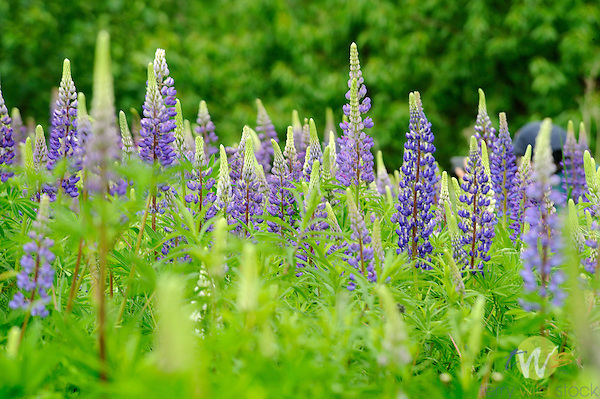 Wild lupine with blue pea flowers.