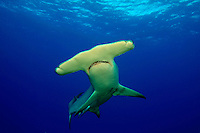 SCALLOPED HAMMERHEAD SHARK Sphyrna lewini GALAPAGOS ISLANDS. predator dangerous menacing deadly hazardous cartilaginous horizontal underwater Galapagos islands Schooling underwater Equador danger underwater sharks