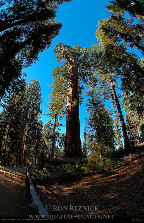 General Grant Tree, Giant Sequoia, Sequoiadendron giganteum, Fisheye, Grant Grove in Autumn, King's Canyon National Park