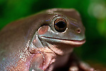 Detailed shot of Green Tree Frog sitting in Nature
