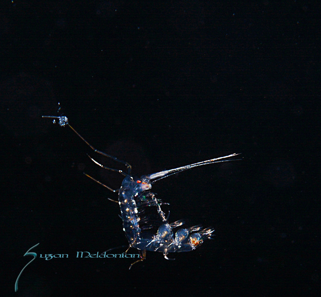 Phronima Close up, Gulfstream Current over 600' depth, Atlantic Ocean off SE Florida.