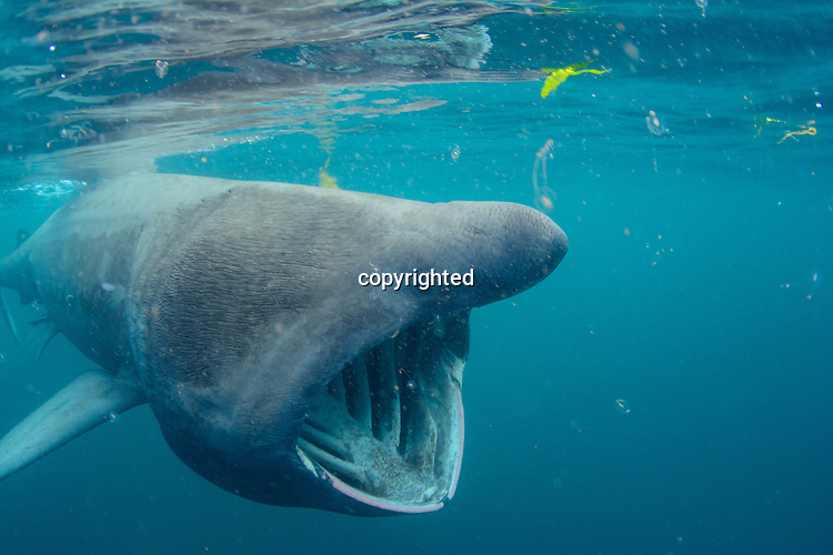 A basking shark feeding underwater