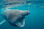 A basking shark feeding underwater