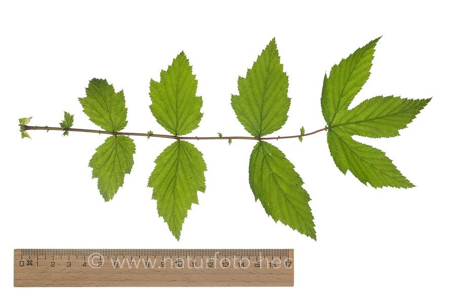 Echtes Mädesüß, Mädesüß, Mädesüss, Filipendula ulmaria, Meadow Sweet, Quenn of the Meadow, Reine des prés. Blatt, Blätter, leaf, leaves
