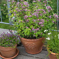 Wildkräuter in Töpfen, Topf, Blumentopf, Oregano, Schafgarbe, Thymian in Blumentöpfen auf einem Balkon,  flower pot, garden pottery, plant pot. Feld-Thymian, Feldthymian, Wilder Thymian, Thymian, Quendel, Feld-Sandthymian, Arznei-Thymian, Arzneithymian, Thymus pulegioides, Sammelart Thymus serpyllum, Wild Thyme, Sand Thyme, Thym serpolet, Breckland thyme, Breckland wild thyme, creeping thyme, elfin thyme, Le serpolet, thym serpolet. Wilder Dost, Echter Dost, Gemeiner Dost, Oreganum, Origanum vulgare, Oregano, Wild Marjoram, L'origan ou origan commun, marjolaine sauvage, marjolaine vivace. Gewöhnliche Schafgarbe, Wiesen-Schafgarbe, Schafgabe, Achillea millefolium, yarrow, Common Yarrow, Achillée millefeuille, la Millefeuille