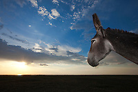 Donkey looking the sunset at Lake Xau