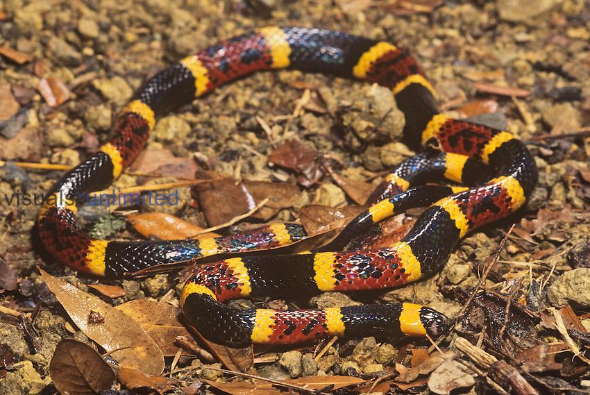 Coral Snake (Micrurus fulvius tenere), Texas, USA.