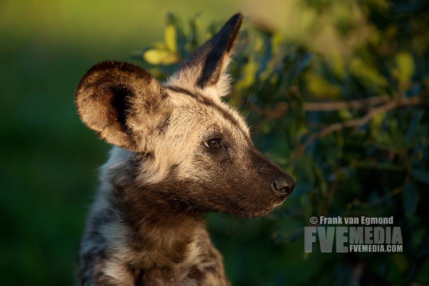 African Wild Dog (Lycaon pictus) pup portait..Hluhluwe-Imfolozi Game Reserve, Kwazulu-Natal, South Africa. November 2010.