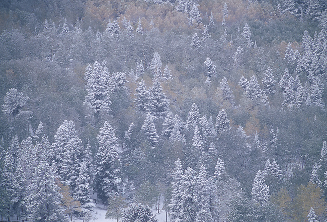 Snow and frost sugarcoat conifers and fall-colored aspen (Populus tremuloides), Rocky Mtn Nat'l Park, CO