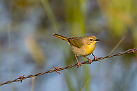 (I believe)  Female Common Yellowthroat.  Klamath Marsh National Wildlife Refuge, Oregon.