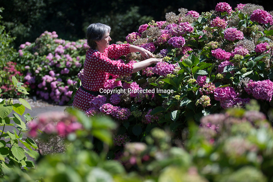 """20/06/16<br /> <br /> Alison Grimwood prunes the dead heads.<br /> <br /> Tucked away in a hidden walled garden of an inner-city public park, the UK's largest hydrangea collection is putting on its best display ever, following the sudden heatwave after several months of rain.<br /> <br /> Full story:  <br /> <br /> https://fstoppressblog.wordpress.com/britains_biggest_hydrangea_garden/<br /> <br /> .And what used to be a flower traditionally associated with """"granny's cottage garden"""" is blooming back into fashion thanks to the rising trend for all things shabby chic and retro-styled.<br /> <br /> There are more than 600 individual hydrangea bushes with a dozen or so different varieties, planted in Derby's Darley Abbey park, formerly part of an estate belonging to the nearby cotton mills.<br /> <br /> All Rights Reserved, F Stop Press Ltd. +44 (0)1773 550665"""