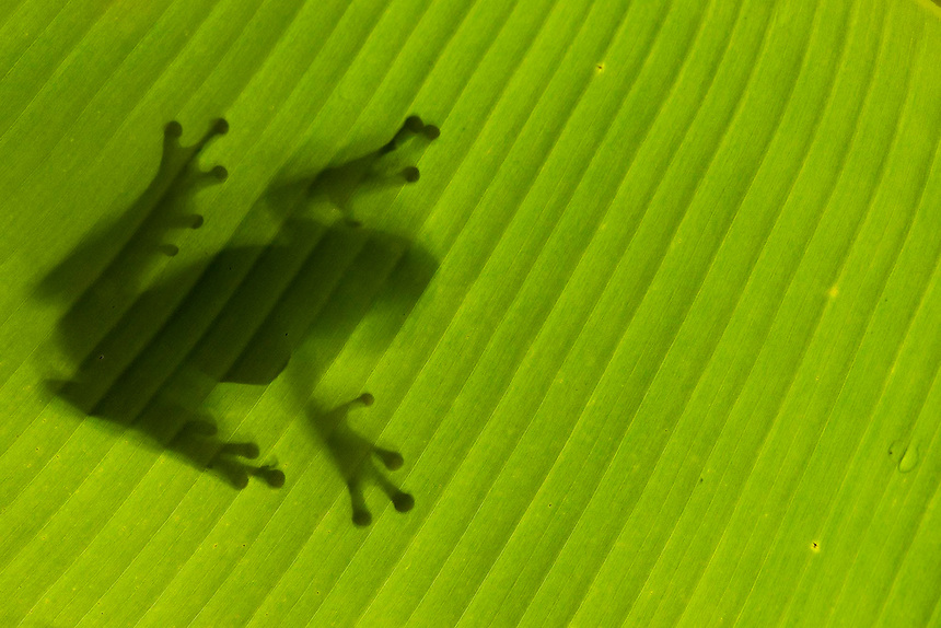 Tree frog (large), sill on banana leaf, Costa Rica