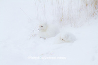 01863-01505 Arctic Foxes (Alopex lagopus) curled up along bank in snow Churchill Wildlife Management Area, Churchill, MB
