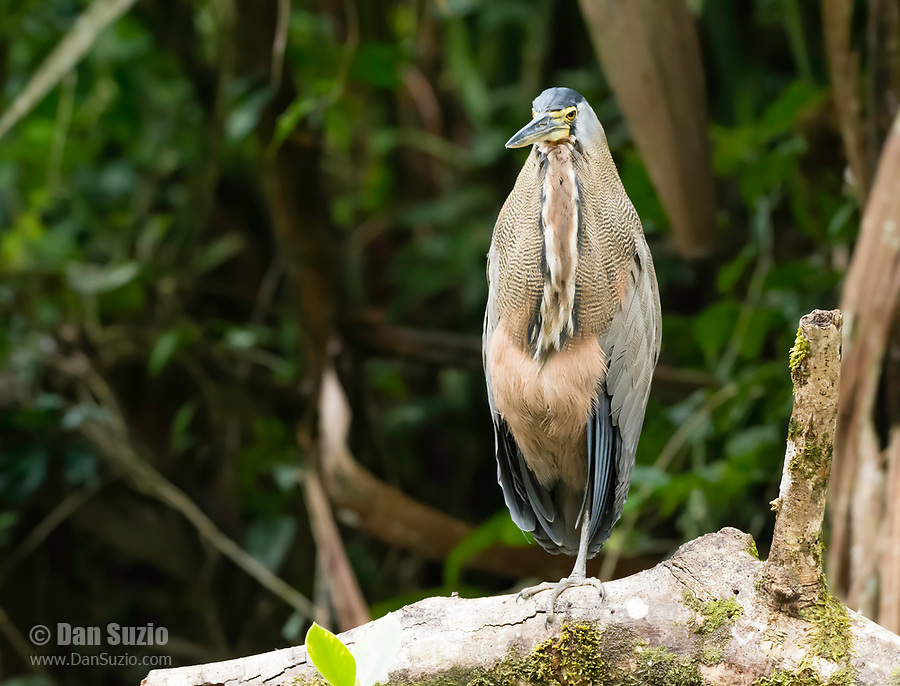 Bare-throated Tiger-Heron, Tigrisoma mexicanum, perched on a branch beside the Tortuguero River (Rio Tortuguero) in Tortuguero National Park, Costa Rica