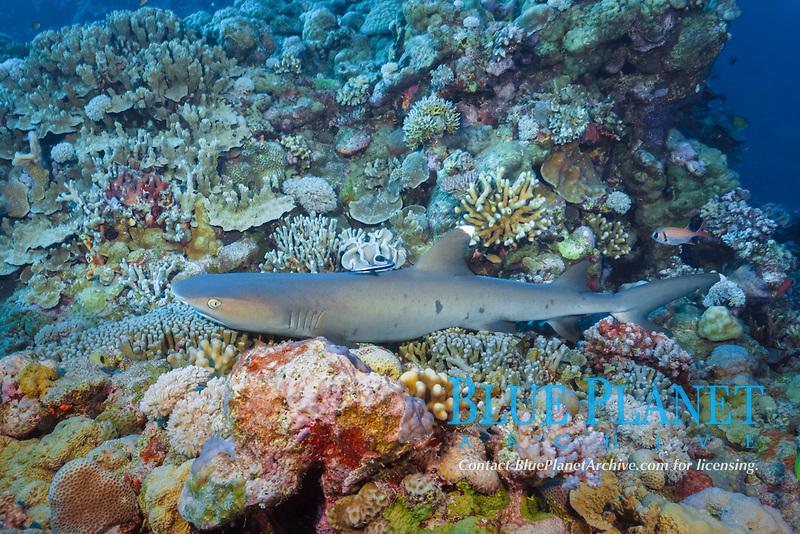 whitetip reef shark, Triaenodon obesus, Osprey Reef, Coral Sea Marine Park, Queensland, Australia, Coral Sea, Pacific Ocean