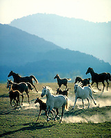 Arabian mares and foals running over rise with misty mountains in background. Vertical. horse, horses, animals,.