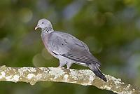 Trocaz Pigeon - Columba trocaz - Madeira endemic