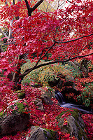 Japanese Maple Tree in Autumn in Beacon Hill Park, Victoria, BC, British Columbia, Canada