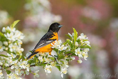 Baltimore Oriole (Icterus galbula, male in breeding plumage perched amid crabapple blossoms in spring, Ithaca, New York, USA (Marie Read)