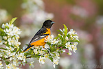 Baltimore Oriole (Icterus galbula, male in breeding plumage perched amid crabapple blossoms in spring, Ithaca, New York, USA