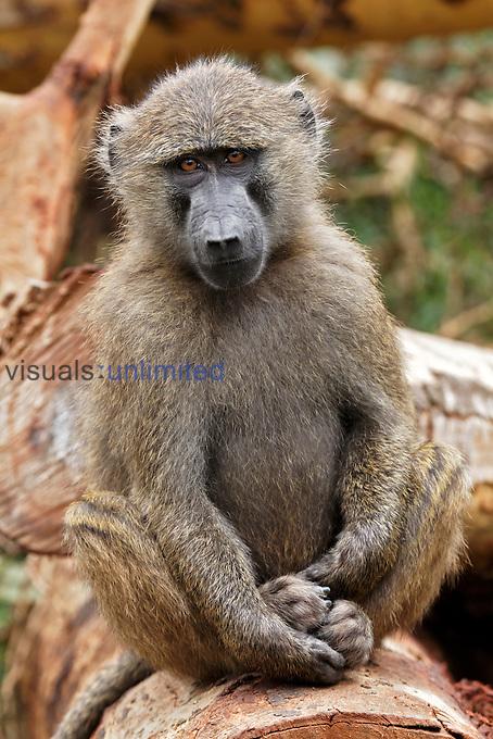 Young Olive Baboon, Lake Nakuru National Park, Kenya