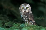 Northern Saw-whet Owl, Aegolius acadicus, in pine tree, USA, controlled situation.USA....