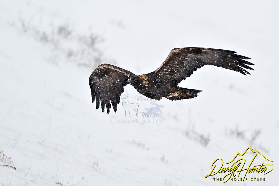 Golden Eagle in flight, National Elk Refuge, Jackson Hole, Wyoming