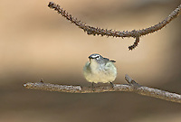 590640005 a wild male plumbeous vireo vireo plumbeous perches on a tree limb on mount lemmon tucson arizona united states