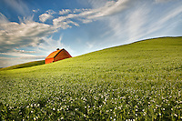 Barn in field of blooming peas. The Palouse, Washington
