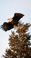 Bald Eagle (Haliaeetus leucocephalus) takes flight from the top of a pine tree. We encountered this individual near a river bank in West Yellowstone and were fortunate to get a clear shot in the soft evening light.