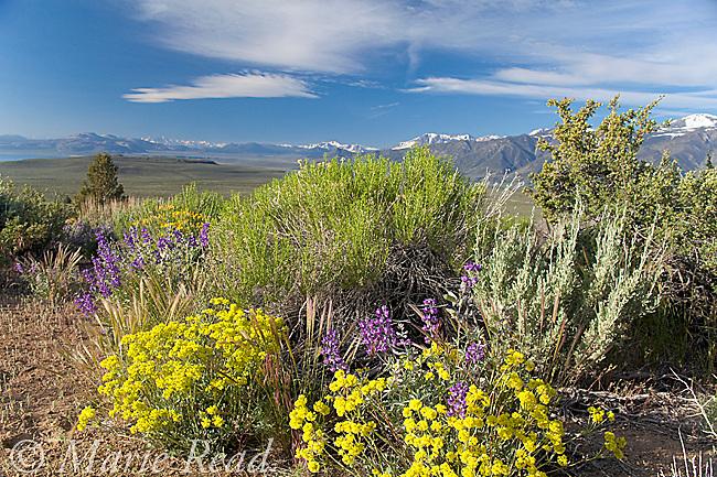 Lupine (Lupinus sp.) and Sulfur Flower (Eriogonum umbellatum) flowering in Sagebrush desert in June, Mono Lake Basin, California, USA