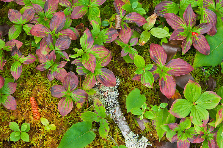 Canada Dogwood (Cornus canadensis) in late summer; Isle Royale National Park, MI