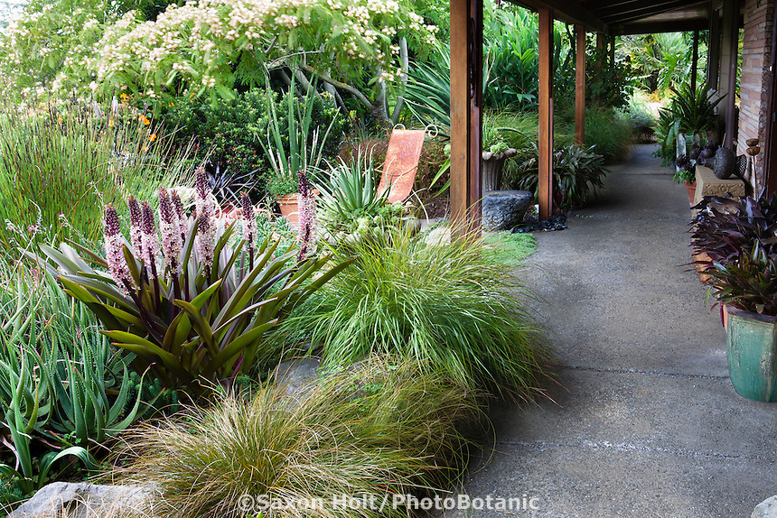 Covered walkway between house and garden with eclectic California cottage garden plants, Flowering Pineapple Lily, Eucomis comosa 'Burgundy', Stipa arundinacea grass