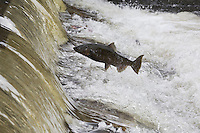 RP0595-D. Chinook Salmon (Oncorhynchus tshawytscha) swimming upstream to spawn, here one is jumping out of river to clear small waterfall. Washington, USA.<br /> Photo Copyright &copy; Brandon Cole. All rights reserved worldwide.  www.brandoncole.com