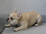 French Bulldog Chig