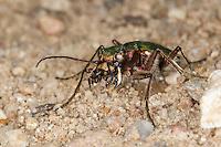 Feld-Sandlaufkäfer,  mit erbeuteter Ameise zwischen den Mandibeln, Feldsandlaufkäfer, Sandlaufkäfer,  Feldsandläufer, Cicindela campestris, green tiger beetle