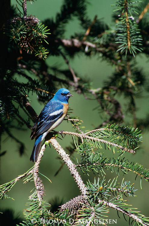 Lazuli Bunting perched among the branches of a fir tree.