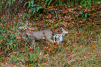 Columbian Black-tailed Deer doe or Coastal Black-tailed Deer doe (Odocoileus hemionus columbianus) with Piebald fawn in fall.  Pacific Northwest.  This is a fawn born in May or June in November (roughly 6 months old).<br /> <br /> Piebaldism is a rare genetic anomaly in deer that can include a range of potential deformities, from coat coloration to skeletal alignment, from mild to severe. This is because some of the same genes that code for coat color also code for other physical traits.  Piebaldism is a recessive trait; it is believed that both parents must carry the recessive gene for there to be a chance that they will produce piebald fawns. It's also possible for a piebald doe to reproduce and bear normal fawns.