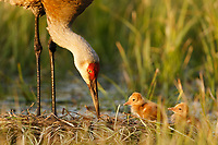Sandhill Crane ( Grus canadensis) with two newly hatched chicks on a nest in a flooded pasture. Adult cranes actively teach or show their chicks food items to consume. Sublette County, Wyoming. May.