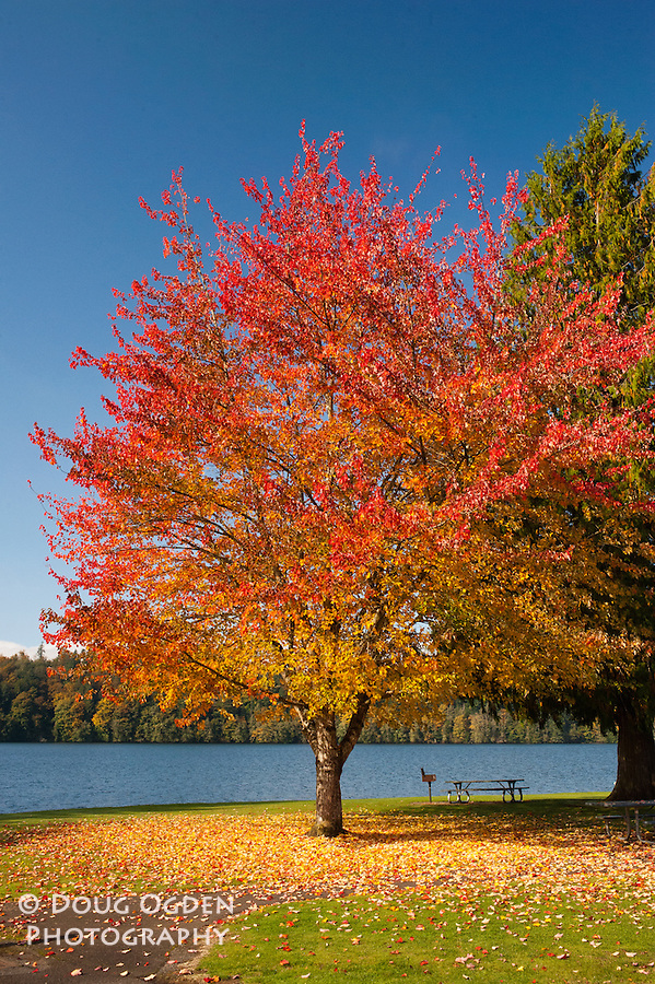 A beautiful maple tree in fall colors near Mayfield Lake