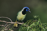 Green Jay, Cyanocorax yncas, adult, Starr County, Rio Grande Valley, Texas, USA, March 2002