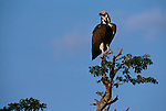 Nubian Vulture perched atop a tree.