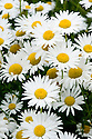 Ox-eye Daisy (Leucanthemum vulgare), mid June. Also known as Marguerite Moon Daisy.