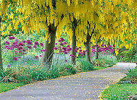 Goldenchain Tree (Laburnum watereri) and flowering onion. VanDusen Botanical Garden, Vancouver, BC