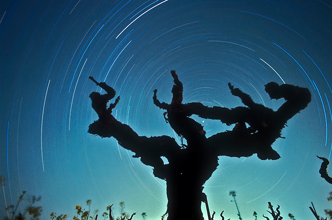 Stars circle around old petit sirah vine in time exposure