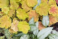 Pulmonaria Cotton Cool & Heuchera Miracle shade plants together